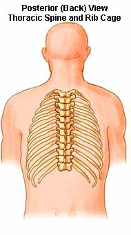 Posterior View - Thoracic Spine and Rib Cage